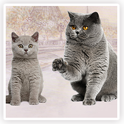 Bouton-races-chats