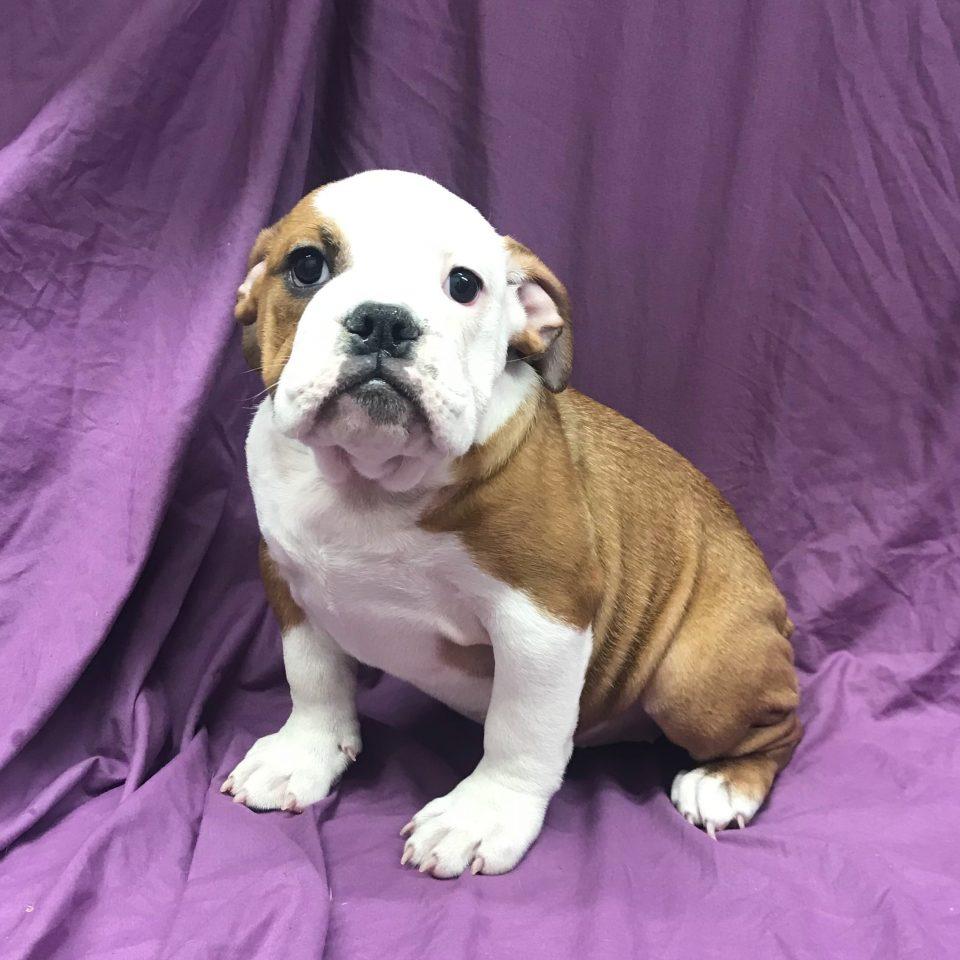Olga chiot bulldog anglais fauve et blanc à vendre Paris