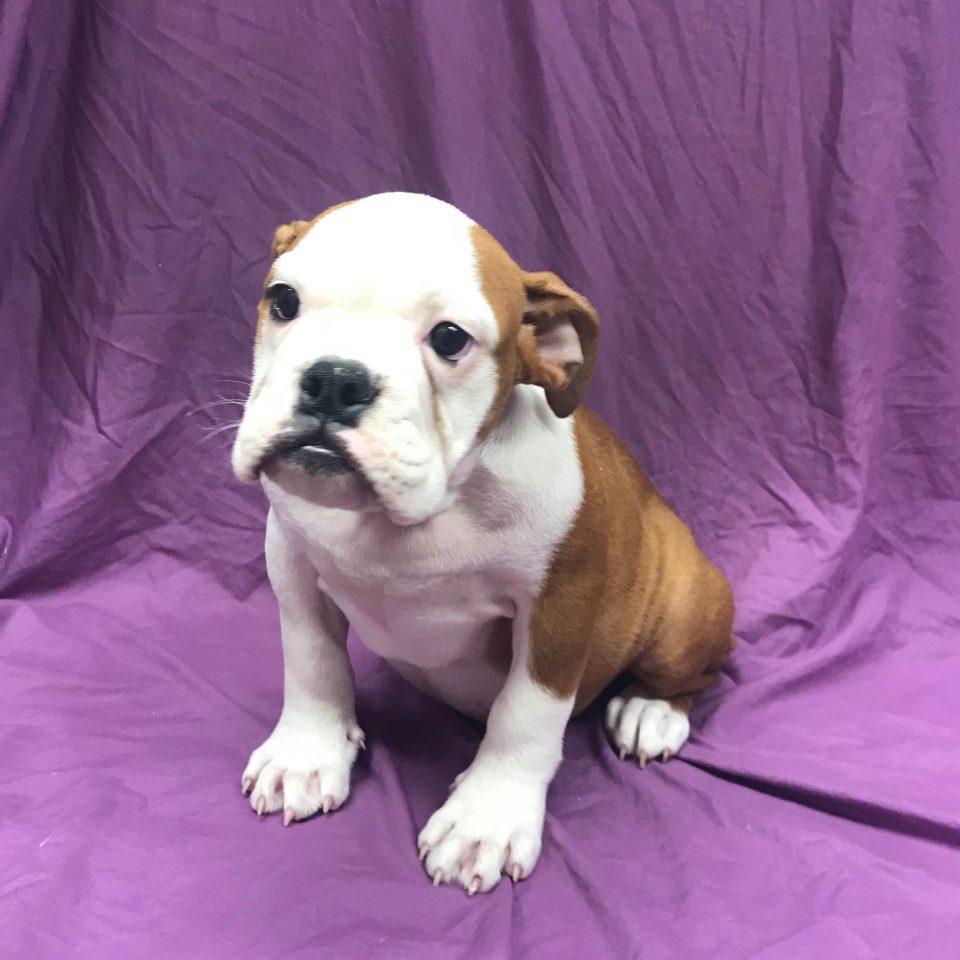 Ortense chiot bulldog anglais fauve et blanc à vendre Paris