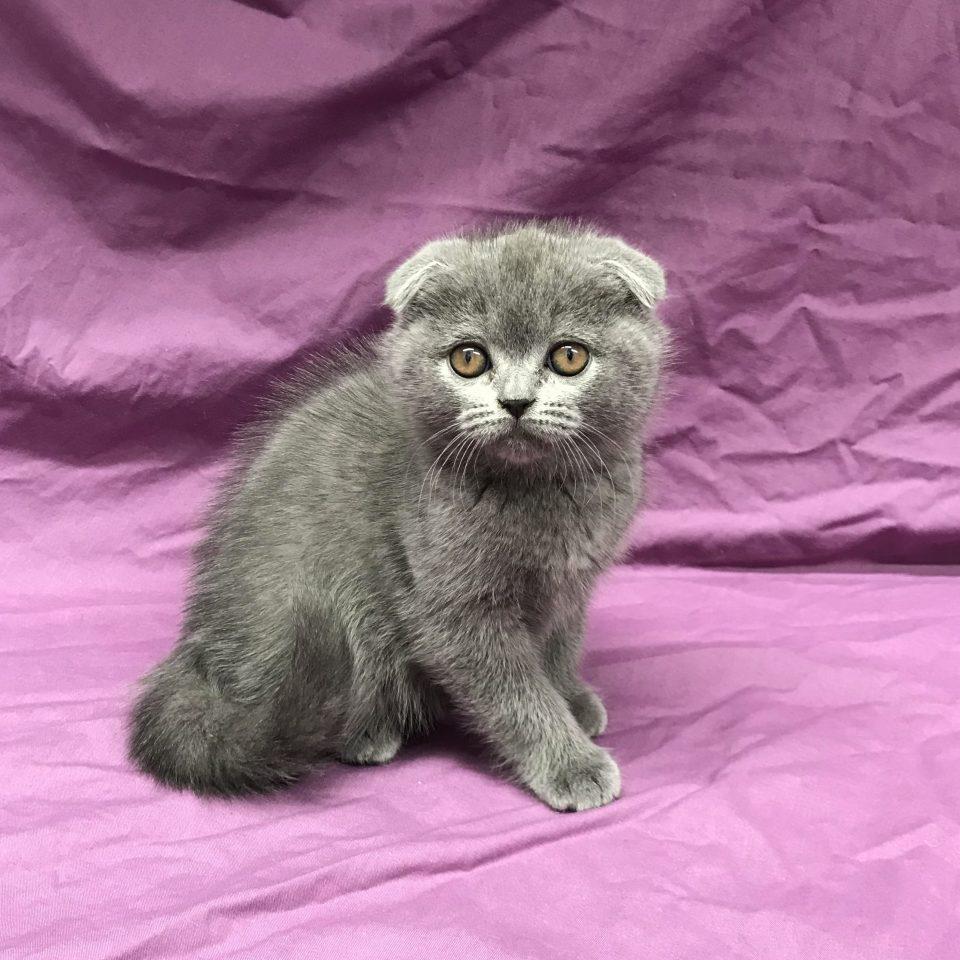 O'Malley chaton scottish fold bleu à vendre Paris