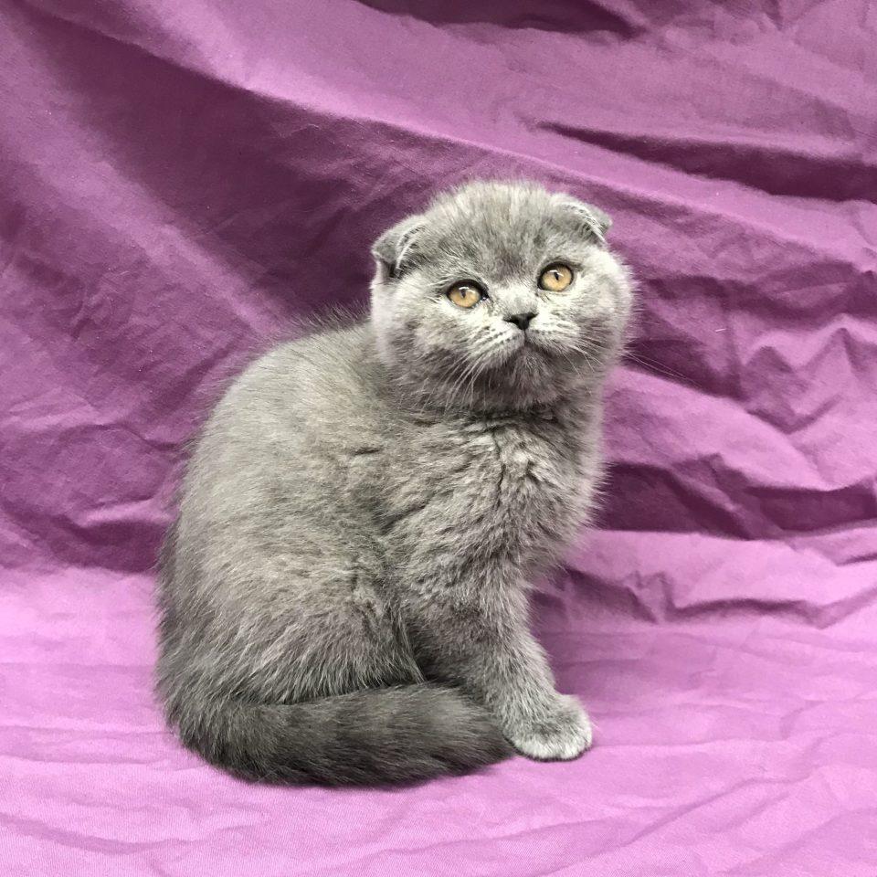 Odyssée chaton scottish fold bleu à vendre Paris