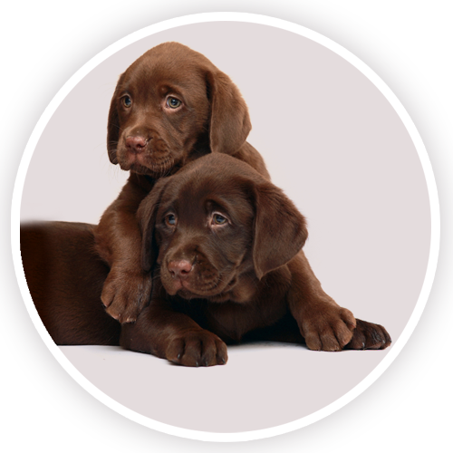 Bouton-rond-chiots