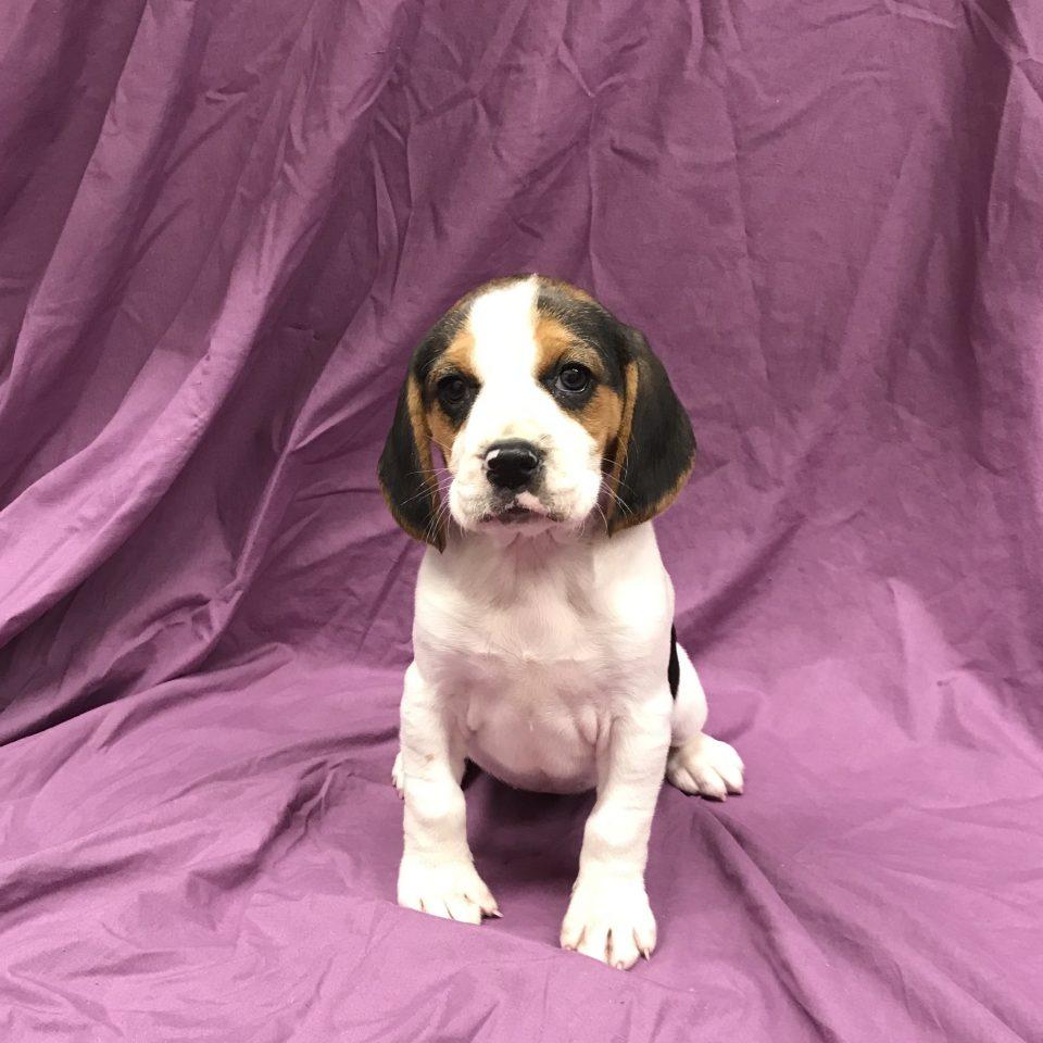 Phèdre chiot beagle femelle tricolore à vendre Paris