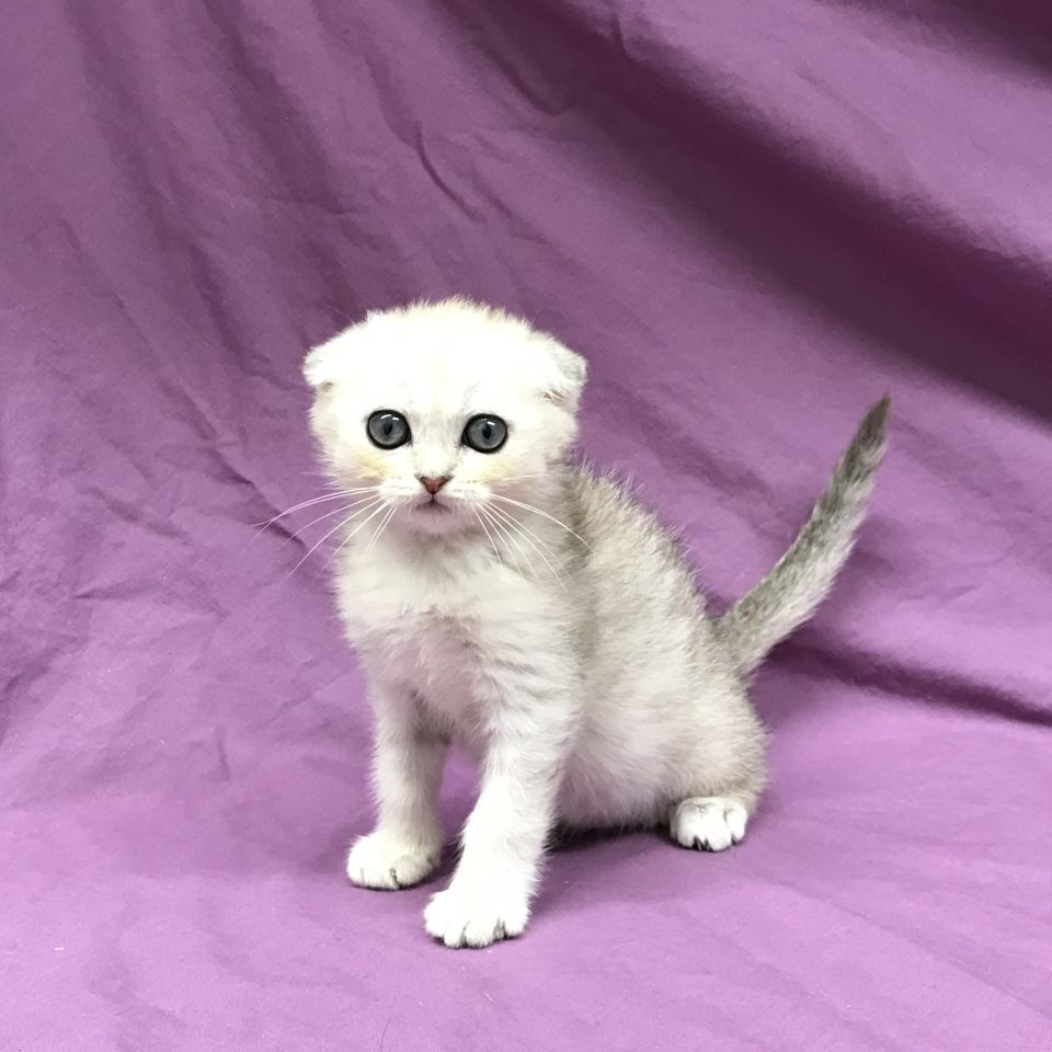 Pégase chaton scottish Fold silver Shaded à vendre Paris
