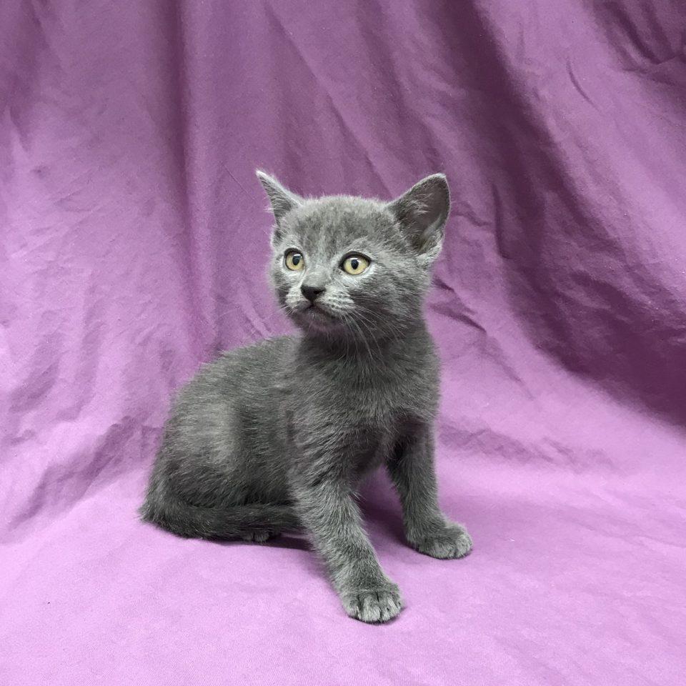 Phébus chaton chartreux bleu à vendre Paris