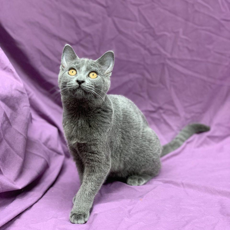 Poésie chaton chartreux femelle bleue à vendre Paris