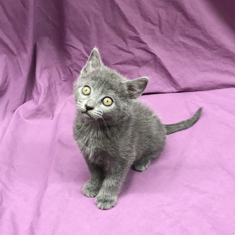 Poésie chaton chartreux bleu à vendre Paris
