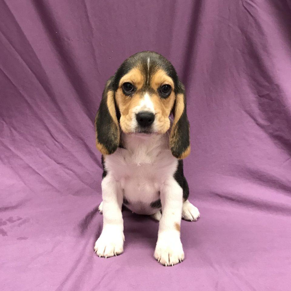 Perséa chiot beagle tricolore à vendre Paris