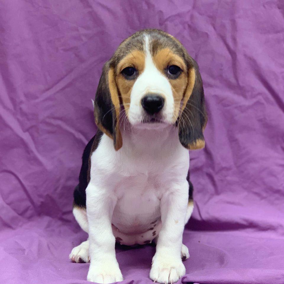 Perdita chiot beagle femelle tricolore à vendre Paris