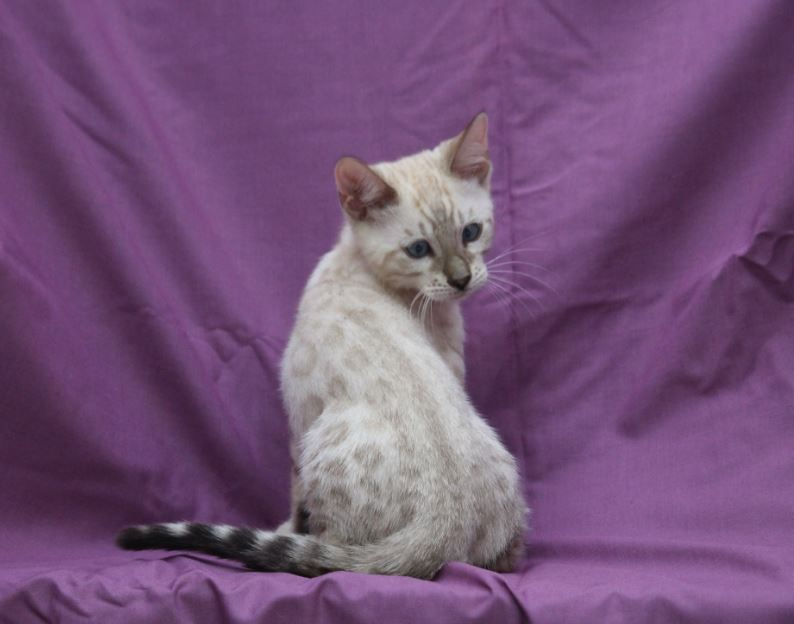 Phantom chaton bengal snow à vendre Paris