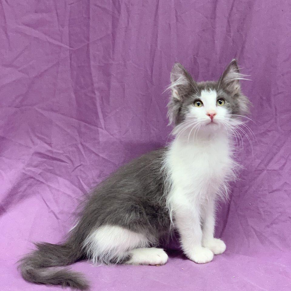 Pablo chaton norvégien mâle bleu et blanc à vendre Paris