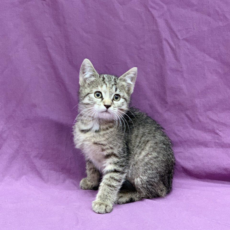 Paloma chaton européen tigrée femelle à vendre Paris
