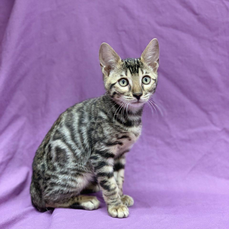Parker chaton bengal mâle brown tabby rosette à vendre Paris