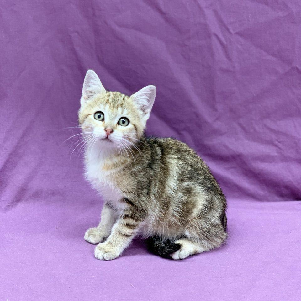 Penny chaton européen tigrée femelle à vendre Paris