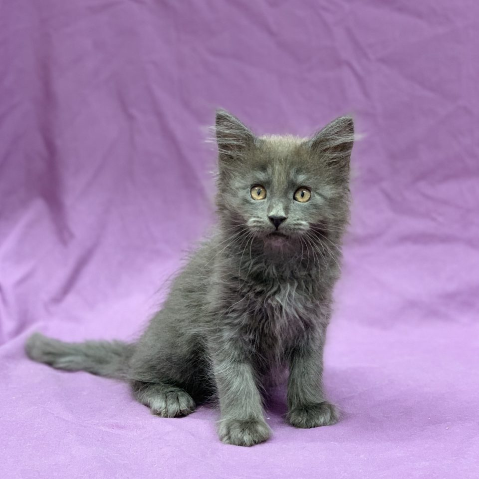 Phénix chaton maine coon mâle bleu à vendre Paris