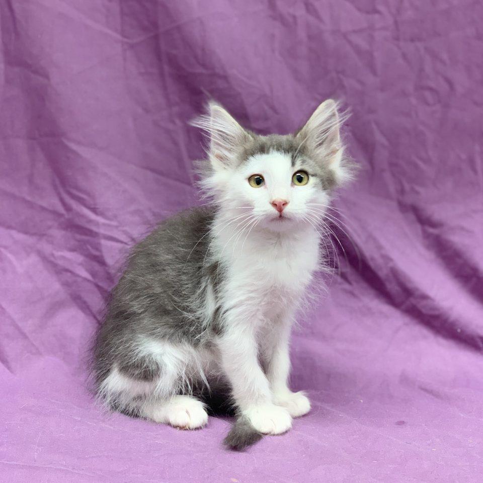 Philae chaton norvégien femelle bleu et blanc à vendre Paris