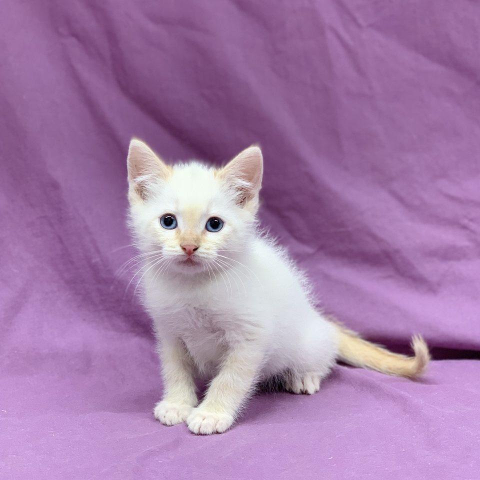 Pichu chaton européen mâle blanc à vendre Paris