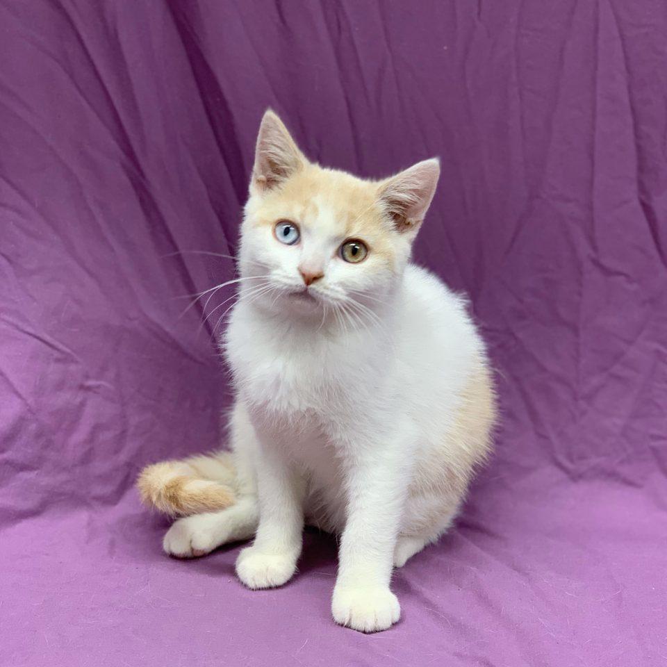 Pilote chaton british shorthair mâle crème et blanc à vendre Paris