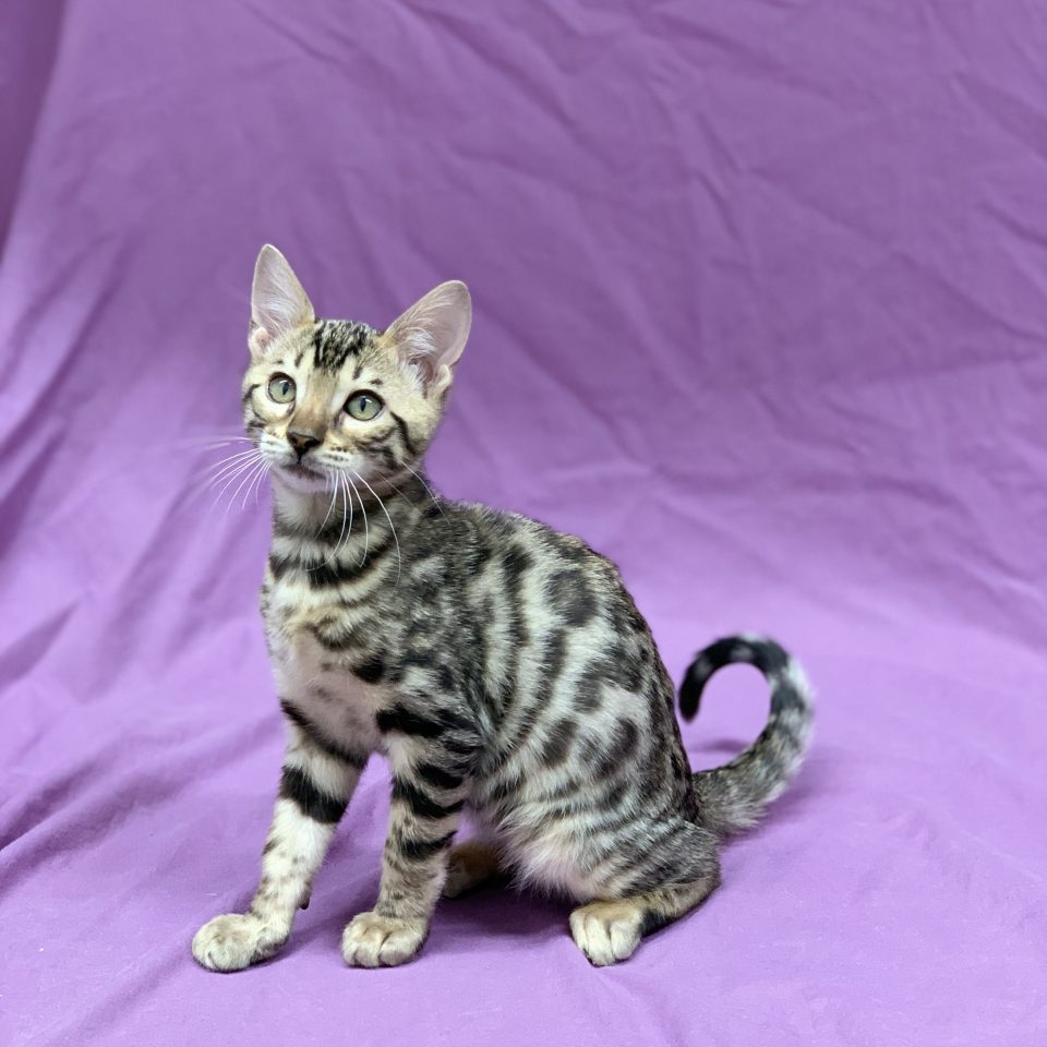 Puma chaton bengal mâle brown tabby rosette à vendre Paris