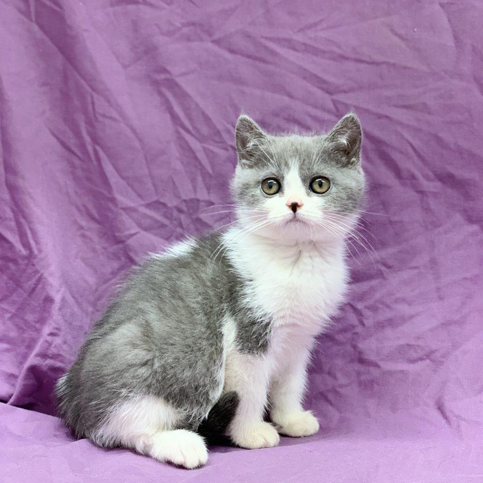 Parisia chaton british shorthair femelle bleu et blanc à vendre Paris