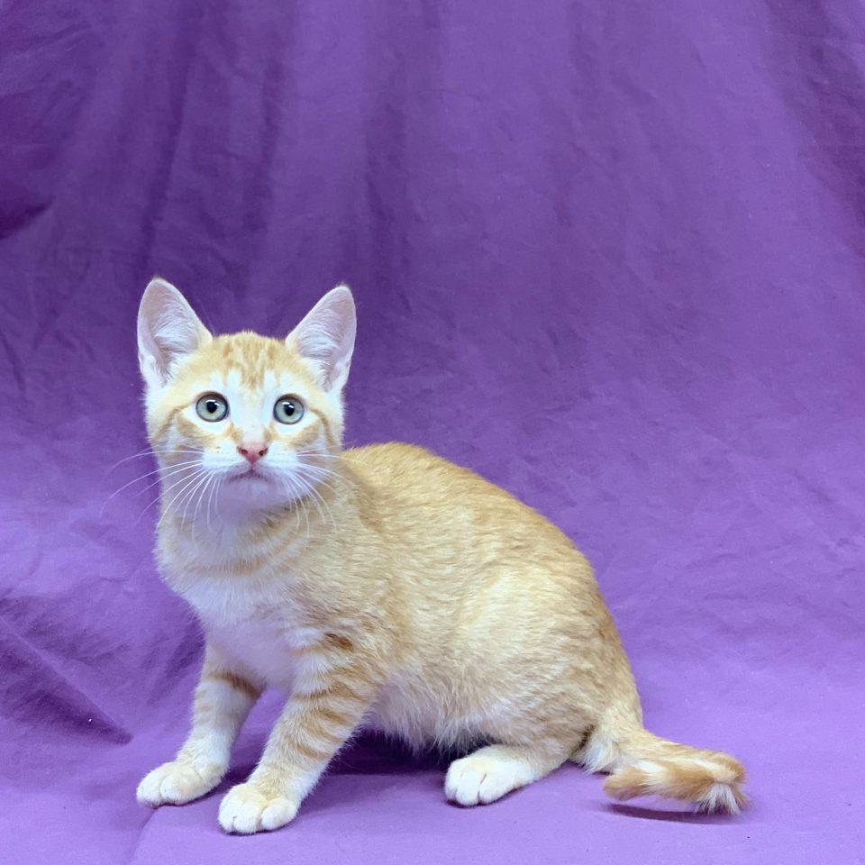 Parker chaton mâle européen roux et blanc à vendre Paris