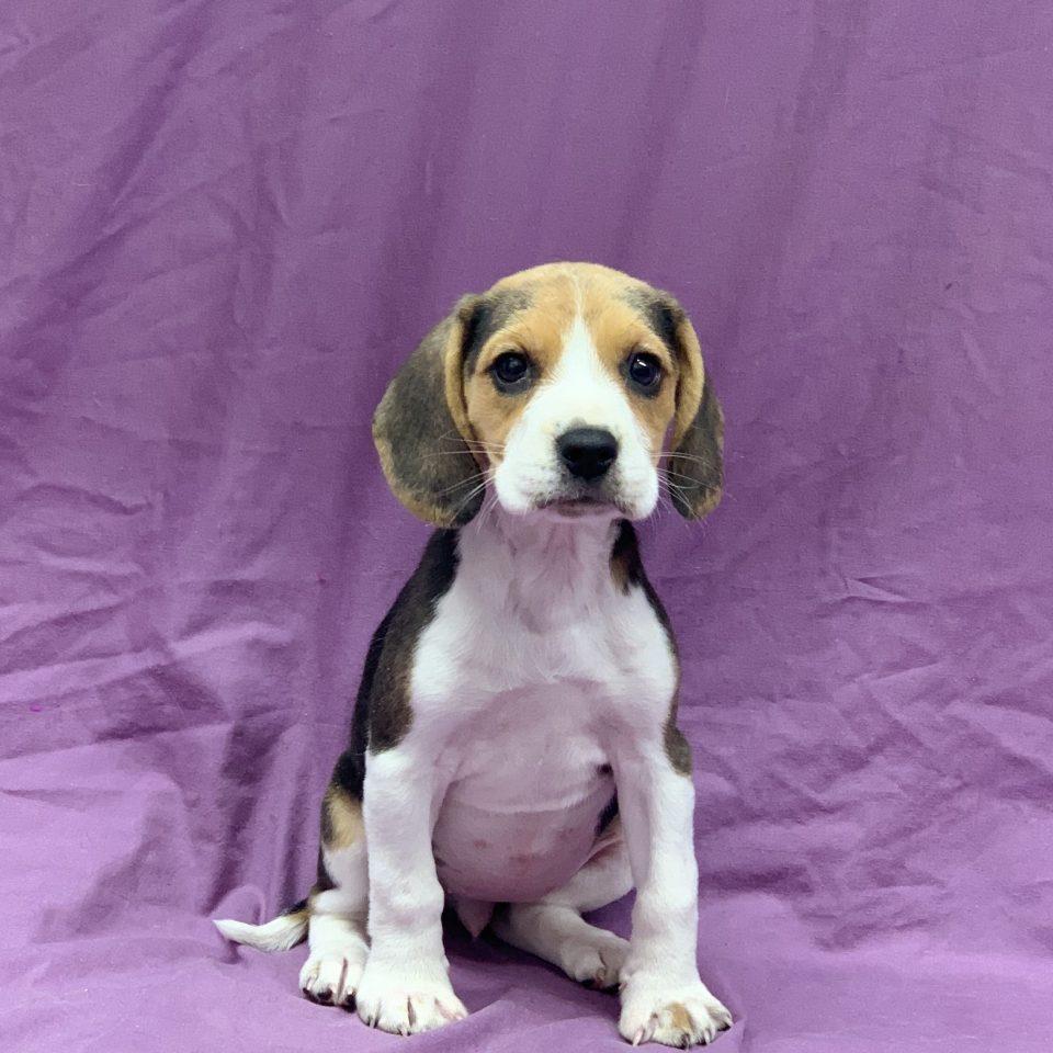 Peach chiot beagle tricolore femelle à vendre Paris
