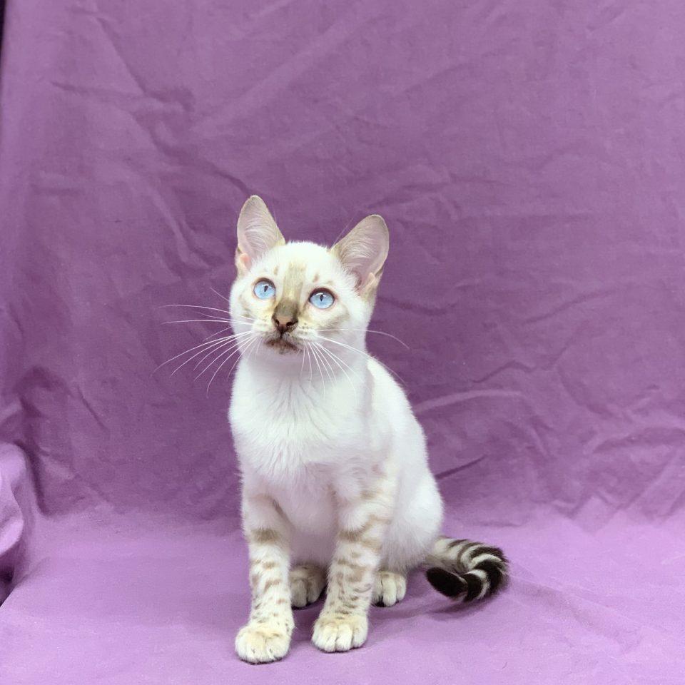 Pegasus chaton bengal snow mâle à vendre Paris