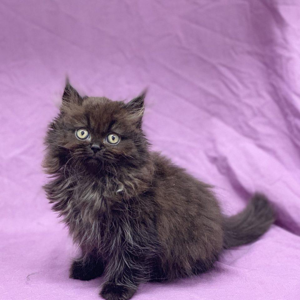 Phélicia chaton british longhair noir femelle à vendre Paris