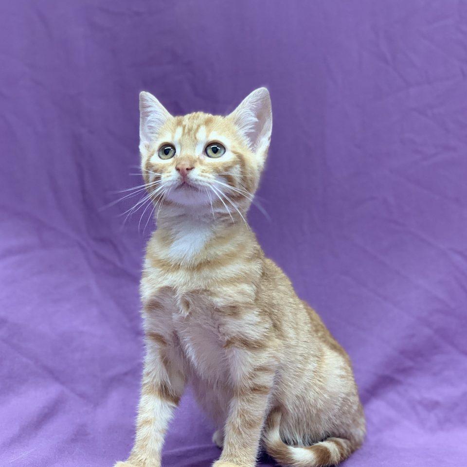 Pika chaton mâle européen roux et blanc à vendre Paris