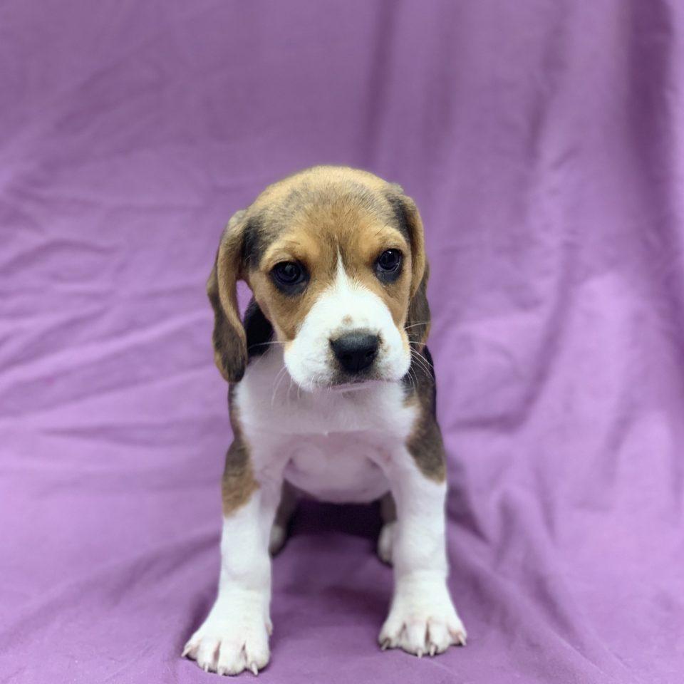 Poppy beagle tricolore femelle à vendre Paris