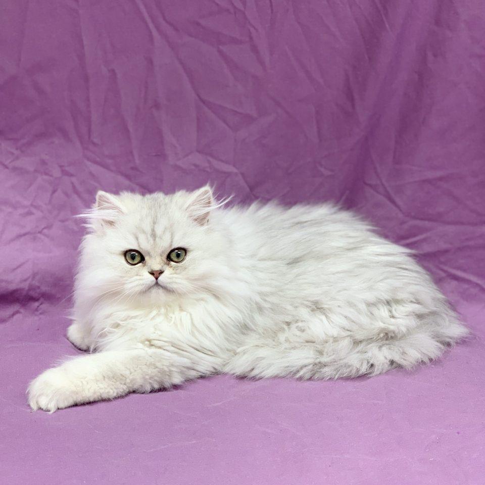 Pixie chaton persan femelle blanc à vendre Paris