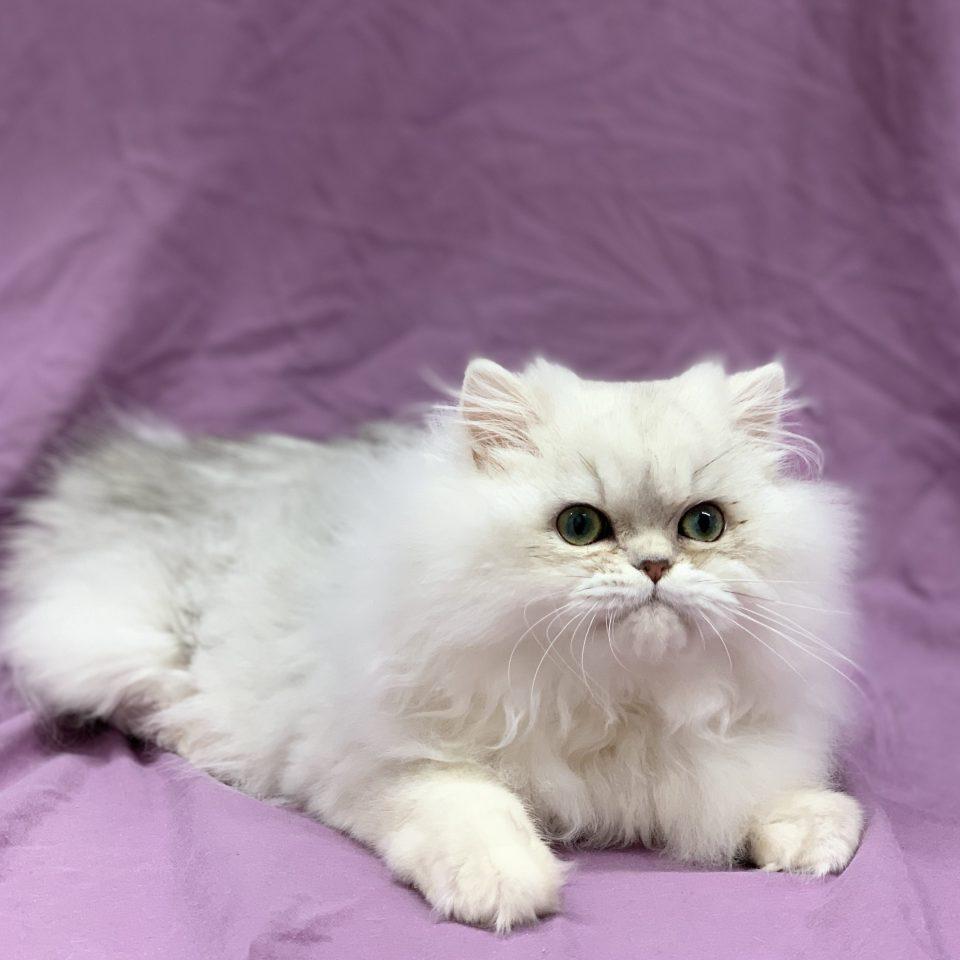 Prince chaton persan mâle blanc à vendre Paris