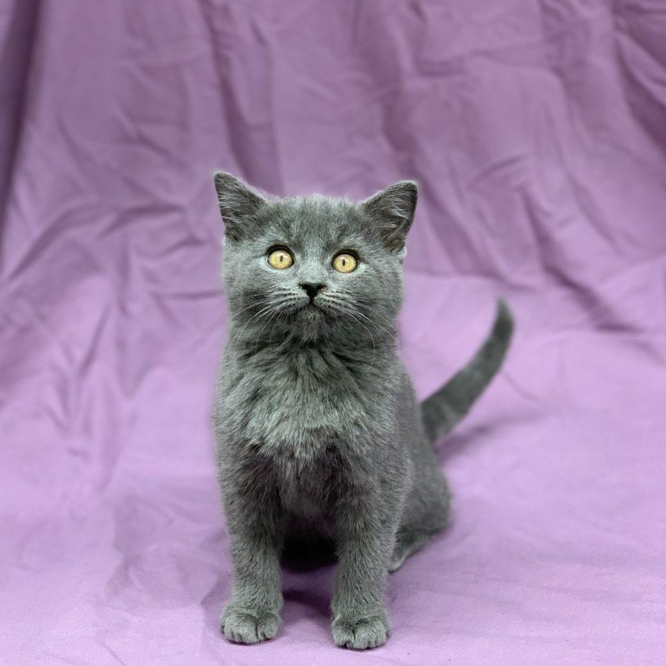 Persée chaton chartreux mâle bleu à vendre Paris