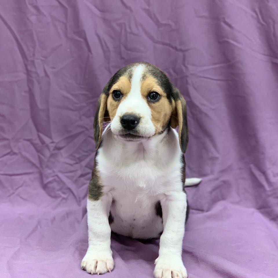 Pimousse chiot beagle tricolore mâle à vendre Paris