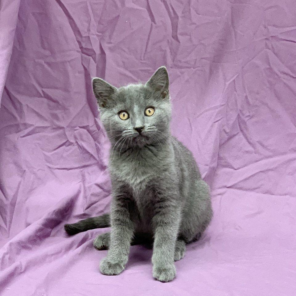 Pythagore chaton chartreux mâle bleu à vendre Paris