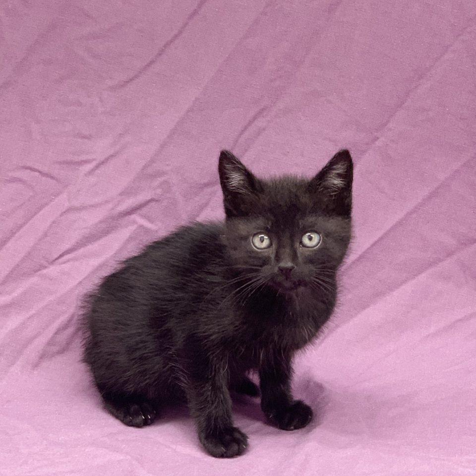 Réglisse chaton mâle européen noir à vendre Paris