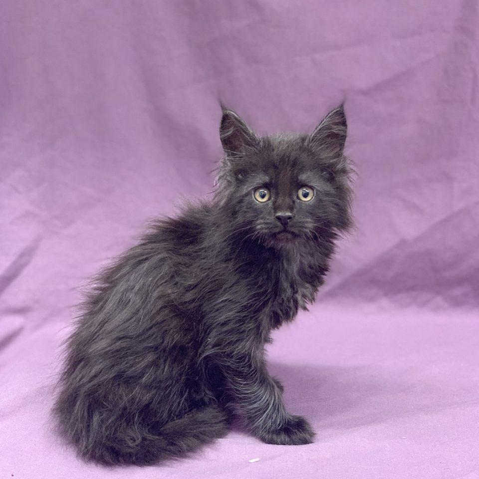 Ramsès chaton maine coon black mâle à vendre Paris