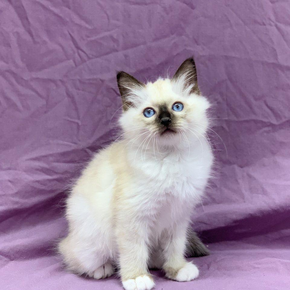 Reusty chaton sacré de birmanie seal point mâle à vendre Paris