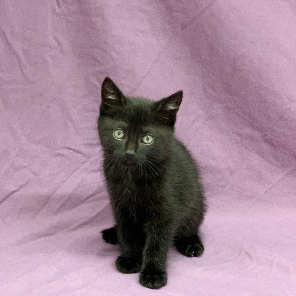 Rosa chaton femelle européen noir à vendre Paris