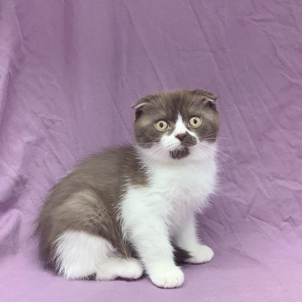 Rafiki chaton scottish fold mâle blanc et chocolat à vendre Paris