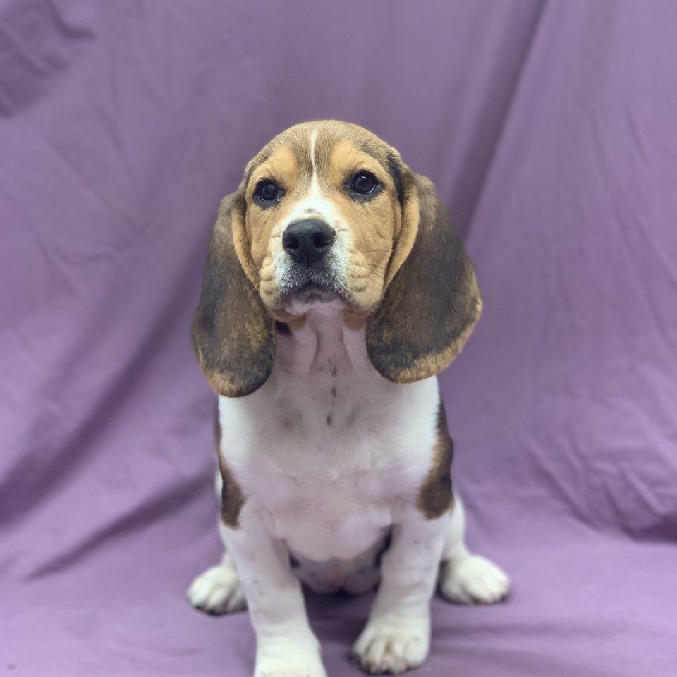 Ruty chiot beagle tricolore femelle à vendre Paris