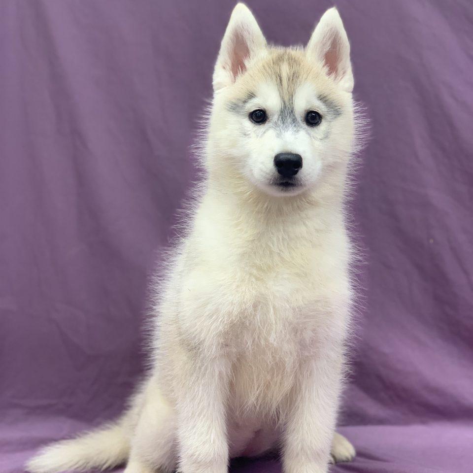 Reine chiot husky de Sibérie femelle gris et blanc à vendre Paris