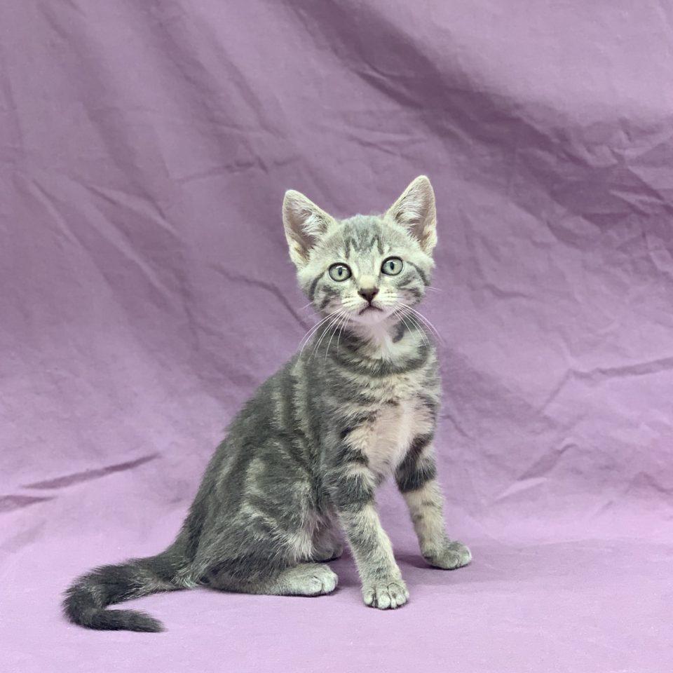 Romane chaton européen gris tigré femelle à vendre Paris