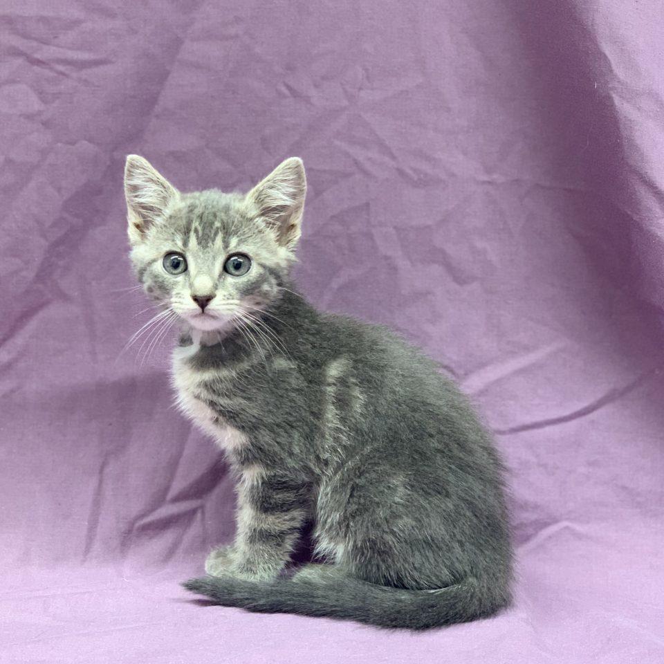 Rosée chaton européen gris tigré femelle à vendre Paris