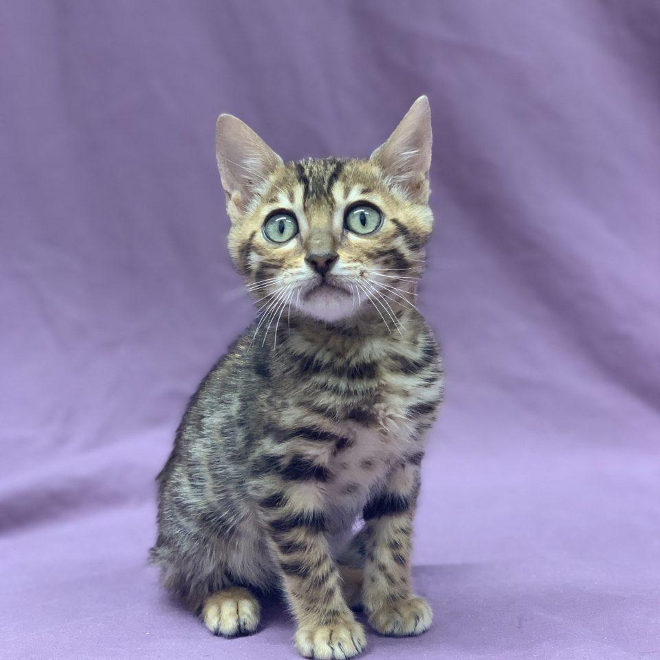 Royal chaton bengal brown tabby mâle à vendre Paris
