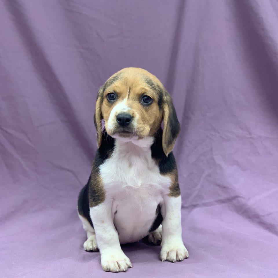 Roza chiot beagle tricolore femelle à vendre Paris