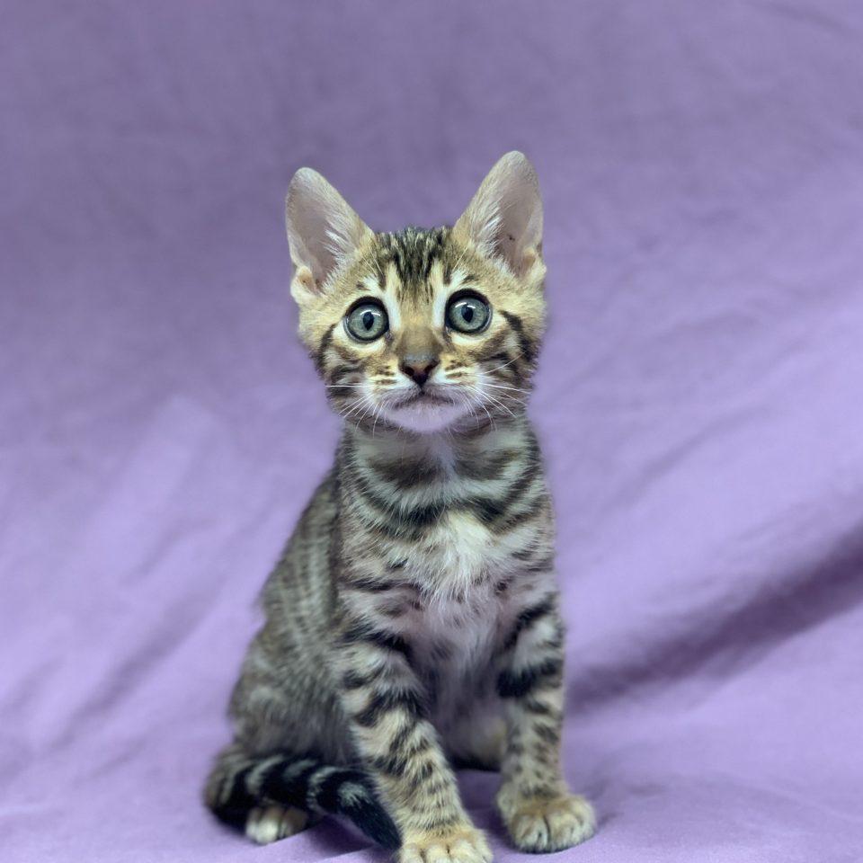 Ruben chaton bengal brown tabby mâle à vendre Paris