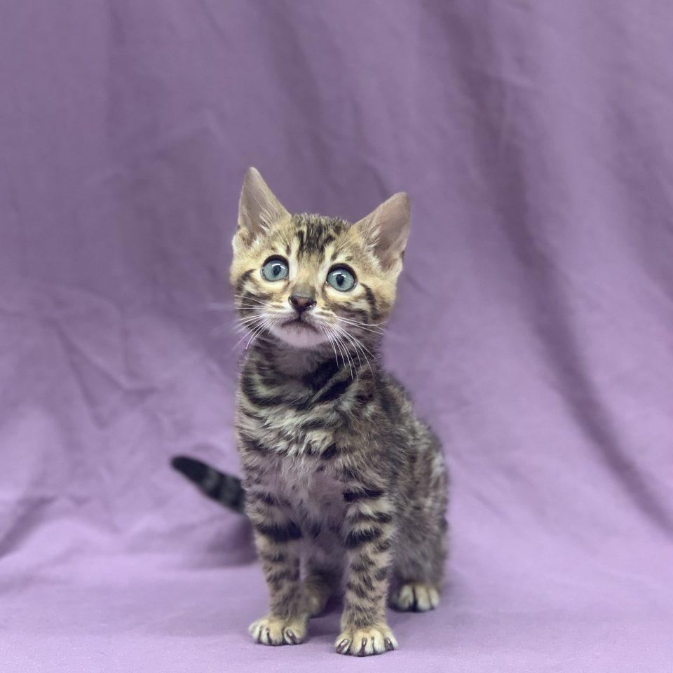 Rufuss chaton bengal brown tabby mâle à vendre Paris
