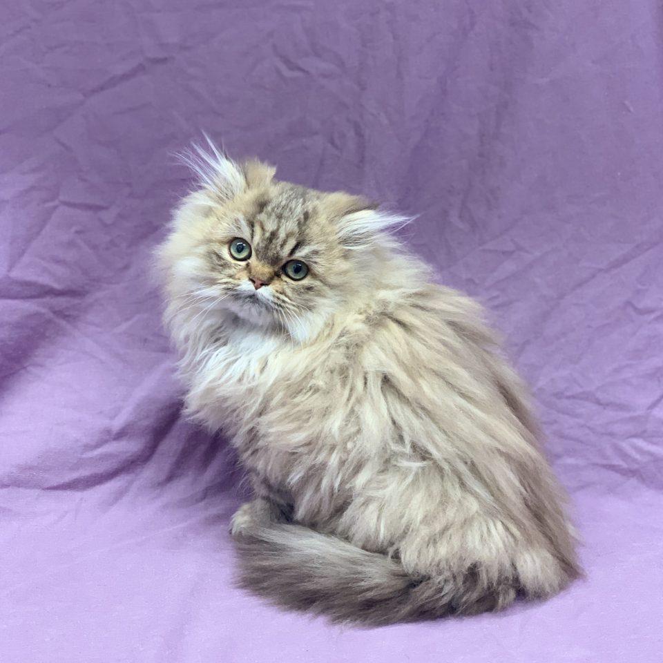 Rumba chaton persan femelle brown tabby à vendre Paris
