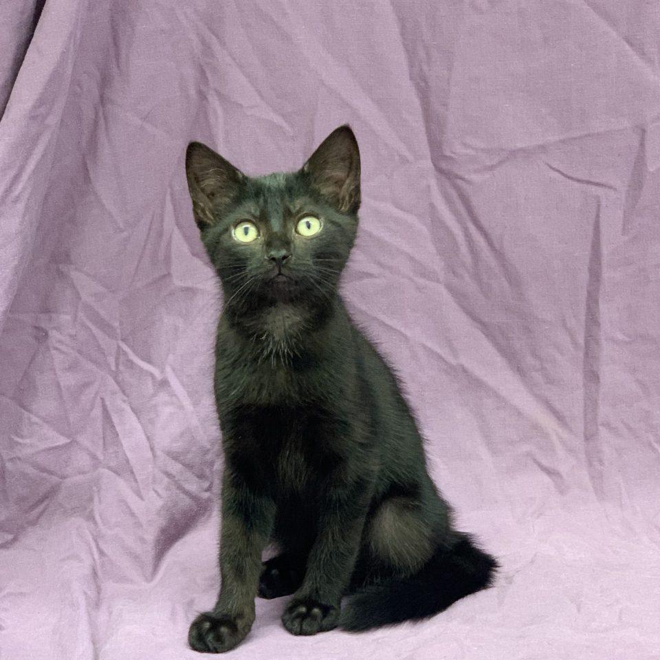Sakura chaton européen femelle noire à vendre Paris